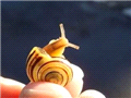 蜗牛黏液治疗咳嗽