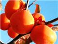 1、柿子:预防心脏病的水果之王