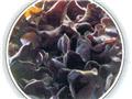 7、黑木耳:防止尿道结石症