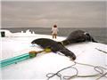 揭秘爱斯基摩人强悍捕鲸全程
