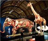 死亡解剖的奥秘:英博物馆塑化动物展