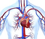心血管系统