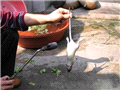震惊!把老鼠变成乳鸽全过程!